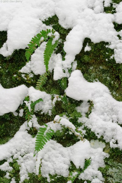 Ferns were peeking through the snow, on the side of a cliff.
