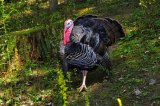 Hunting prospects for the 2016 West Virginia spring turkey season