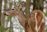 CORRECTION...   Applications available for 2018 Antlerless Deer Season limited permit areas