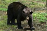 West Virginia hunters set record by harvesting 3,195 black bears in 2015
