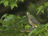 Hunting season for mourning doves, along with seasons for woodcock, common snipe and sora and Virginia rails, begins Sept. 1, 2014.