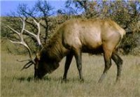 GUEST OP-ED: West Virginia Welfare Elk