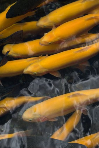 WVDNR News: DNR expands West Virginia Gold Rush trout stockings by 20 waters