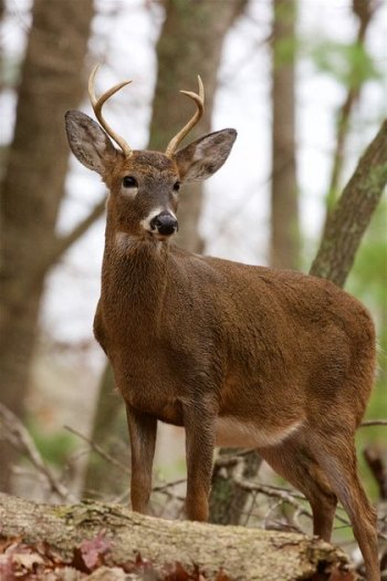 WVDNR's electronic game check system provides opening day buck harvest numbers