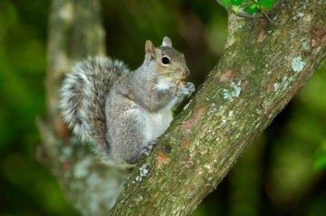 Statewide and Youth Squirrel Hunting Seasons Open in September