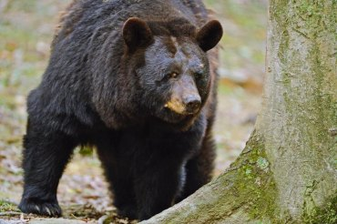 Concurrent black bear hunting opportunities during deer season