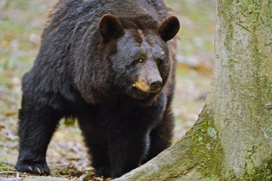 Limited bear firearms season permit applications available online